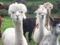waterfall-alpacas-07