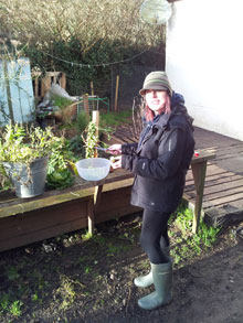 picking sprouts for xmas