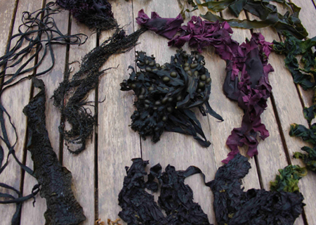 seaweed foraging ireland