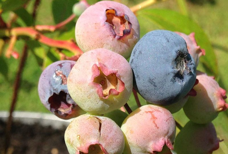 Organic Blueberries Gardening